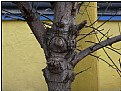 Picture Title - bulbing tree