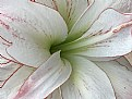 Picture Title - Easter Lily