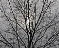 Picture Title - Oak Tree