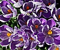 Picture Title - crocus mob