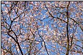 Picture Title - sakura