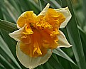 Picture Title - fancy daff