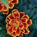 Picture Title - Delicious Marigold
