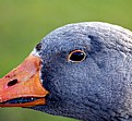 Picture Title - Goose