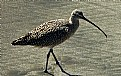 Picture Title - Long-Billed Curlew