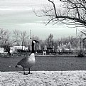 Picture Title - What's Good for the Goose