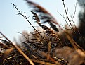 Picture Title - Reed