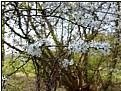 Picture Title - white sakura