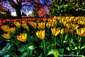 Picture Title - Tulips from Oz