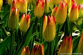 Picture Title - Flaming Tulips