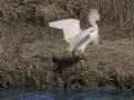 Picture Title - Snowy Egret