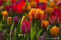 Picture Title - Tulip Dreams