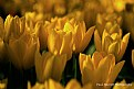 Picture Title - Tulips of Yellow