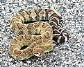 Picture Title - Timber Rattlesnake