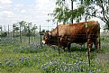 Picture Title - Cow in Spring
