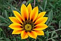 Picture Title - Flaming sunflower