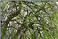 Picture Title - spring-willow weeping