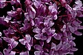 Picture Title - American redbud
