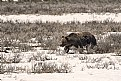 Picture Title - Grizzly Bears still roam Yellowstone