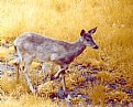 Picture Title - Whitetail