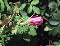 Picture Title - Budding rose