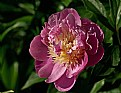 Picture Title - Peony 2