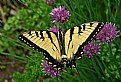 Picture Title - Swallowtail and chives