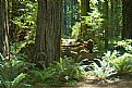 Picture Title - A Giant Red Woods Walk