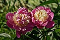 Picture Title - Twin peonies