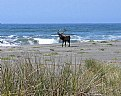 Picture Title - Bull Elk On The Beach
