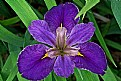 Picture Title - iris top