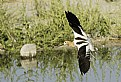 Picture Title - Incoming Avocet