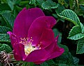 Picture Title - Rose cup