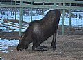 Picture Title - Moose Kneeling
