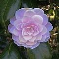 Picture Title - camellia