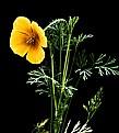 Picture Title - Orange Poppy