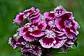 Picture Title - sweet william 2