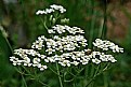 Picture Title - yarrow