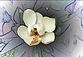 Picture Title - Magnolia Blossom