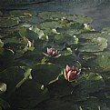 Picture Title - Water lilies I