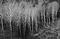 Picture Title - Winter Alders