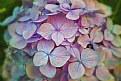 Picture Title - Hydrangea