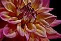 Picture Title - dahlia up close
