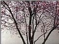 Picture Title - sakura tree