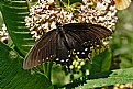 Picture Title - milkweed buffet