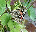 Picture Title - Painted Lady