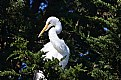 Picture Title - Great Egret