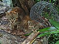 Picture Title - wild cats!