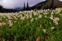 Picture Title - Avalanche Lilly's at Obstruction Pass