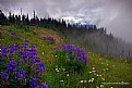 Picture Title - Lupine Meadows